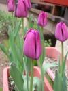 Tulip092