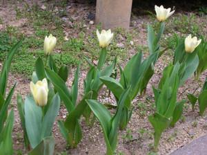 Tulipwhite1204