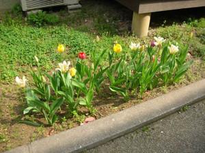 Tulip20120425