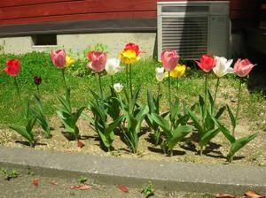 Tulip2013