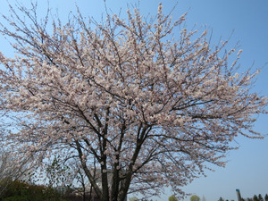 Sakurakameda