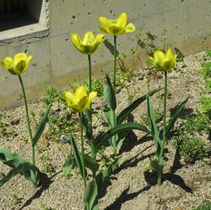 Tulipgreen0424
