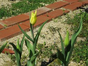 Tulipyellow0424