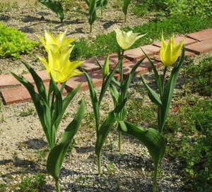Tulip0426
