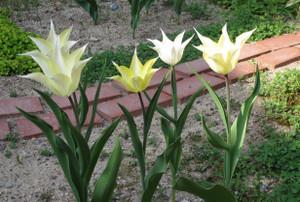 Tulip0427