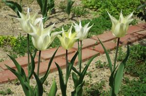 Tulip0428