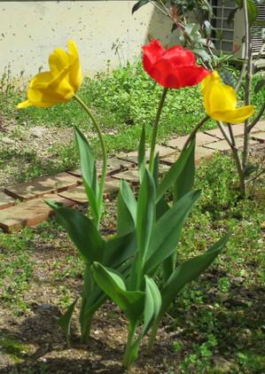 Tulip2015