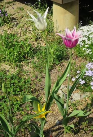 Tulip20152